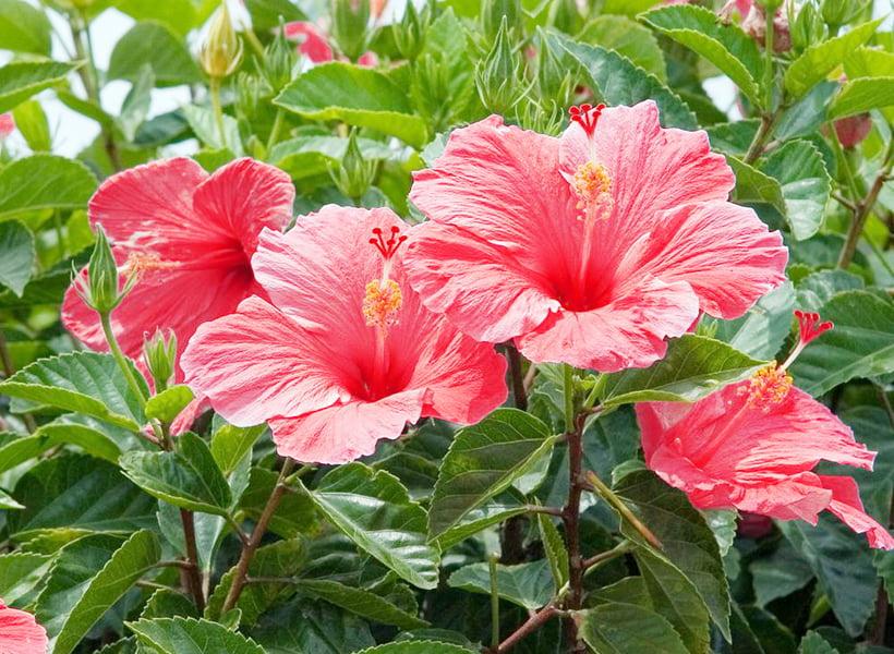 pierderea în greutate ceai hibiscus